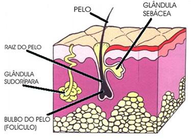 Resultado de imagem para glandulas sudoripara
